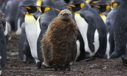 Zdjecie FALKLANDY / Falklandy / Falklandy / Pingwin nastolatek