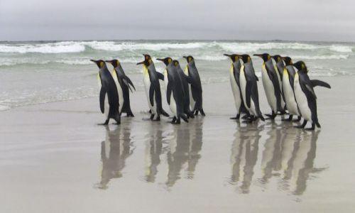 Zdjęcie FALKLANDY / Falkalady / Falklandy / Gesiego