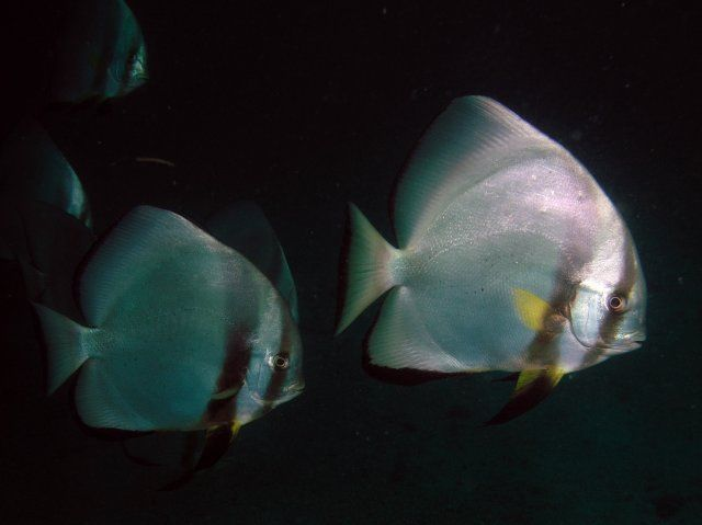 Zdj�cia: Sabang wrak, Mindoro, Batfish, FILIPINY