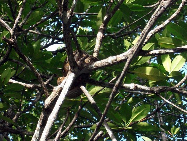 Zdjęcia: Sabang i okolice, Palawan, ... sjesta na gałęzi ..., FILIPINY