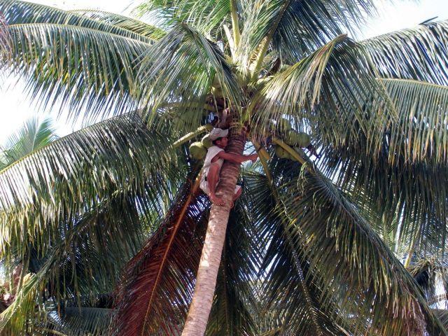 Zdjęcia: Sabang i okolice, Palawan, ... na palmie... po coś do picia ..., FILIPINY