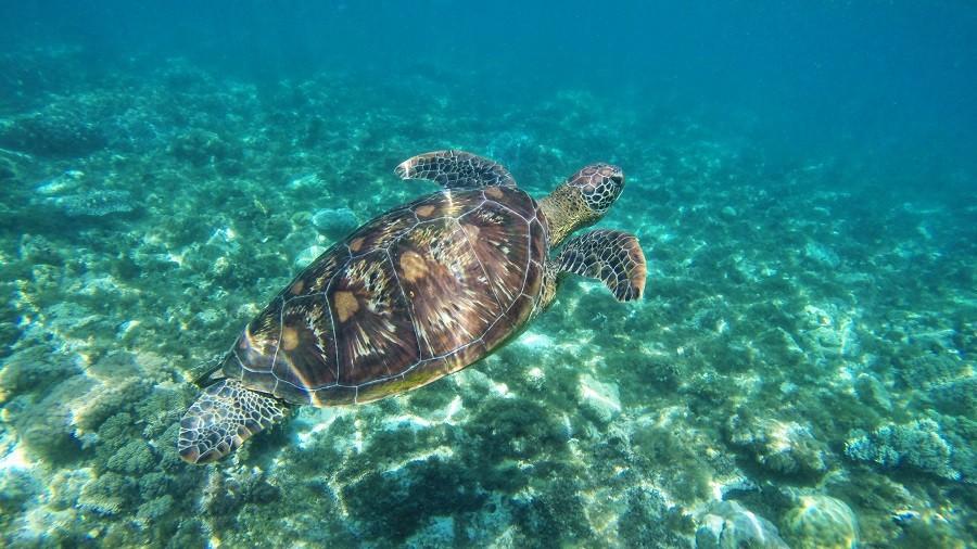 Zdjęcia: Apo Island, Apo Island, Żółwik, FILIPINY