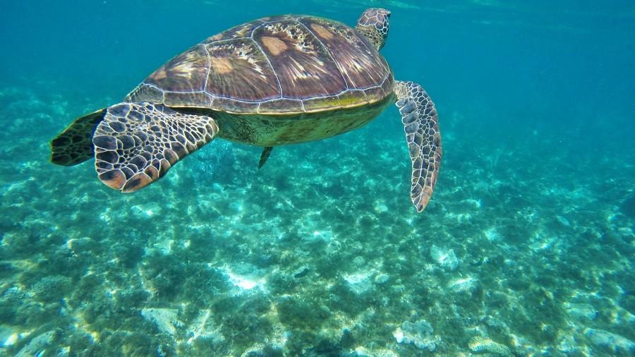 Zdjęcia: Apo Island, Apo Island, I żółwik, FILIPINY
