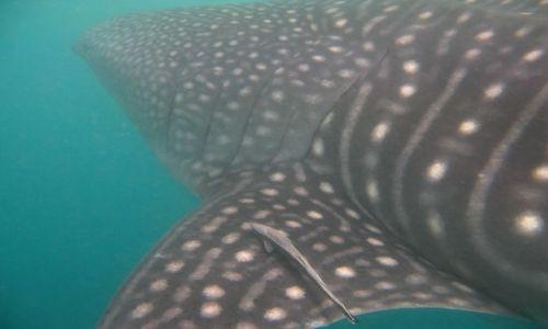 Zdjecie FILIPINY / - / Donsol / Rekin wielorybi