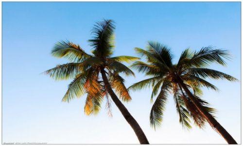 Zdjęcie FILIPINY / Luzon / Manila / Two Palm Trees