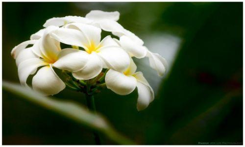 Zdjęcie FILIPINY / Busuanga / Ocamocam / Fragrant Blossoms