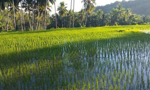 Zdjecie FILIPINY / Bohol / Bohol / Pole ryzowe