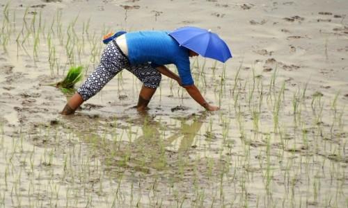 Zdjęcie FILIPINY / Północny Luzon / Między Batad a Bangaan  / Czas sadzenia