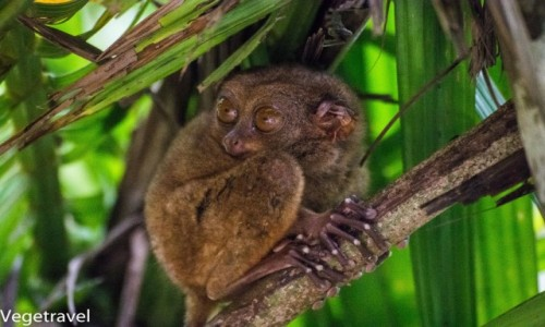 Zdjecie FILIPINY / Bohol / Sanktuarium wyraków / Najmniejsza małpka świata :) Wyrak