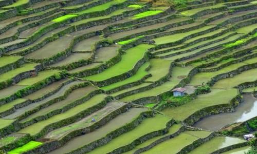 FILIPINY / Północny Luzon / Batad / Zielone wafelki