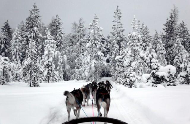 FINLANDIA / Laponia / Rovaniemi  / Mój zaprzęg