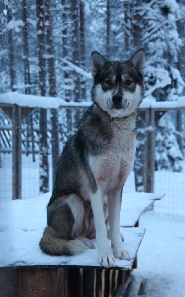 Zdjęcia: Napapiiri, Laponia, Na straży, FINLANDIA