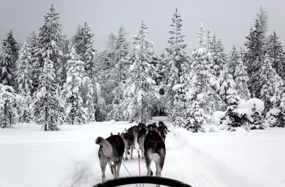 Zdjęcia: Rovaniemi , Laponia, Mój zaprzęg, FINLANDIA
