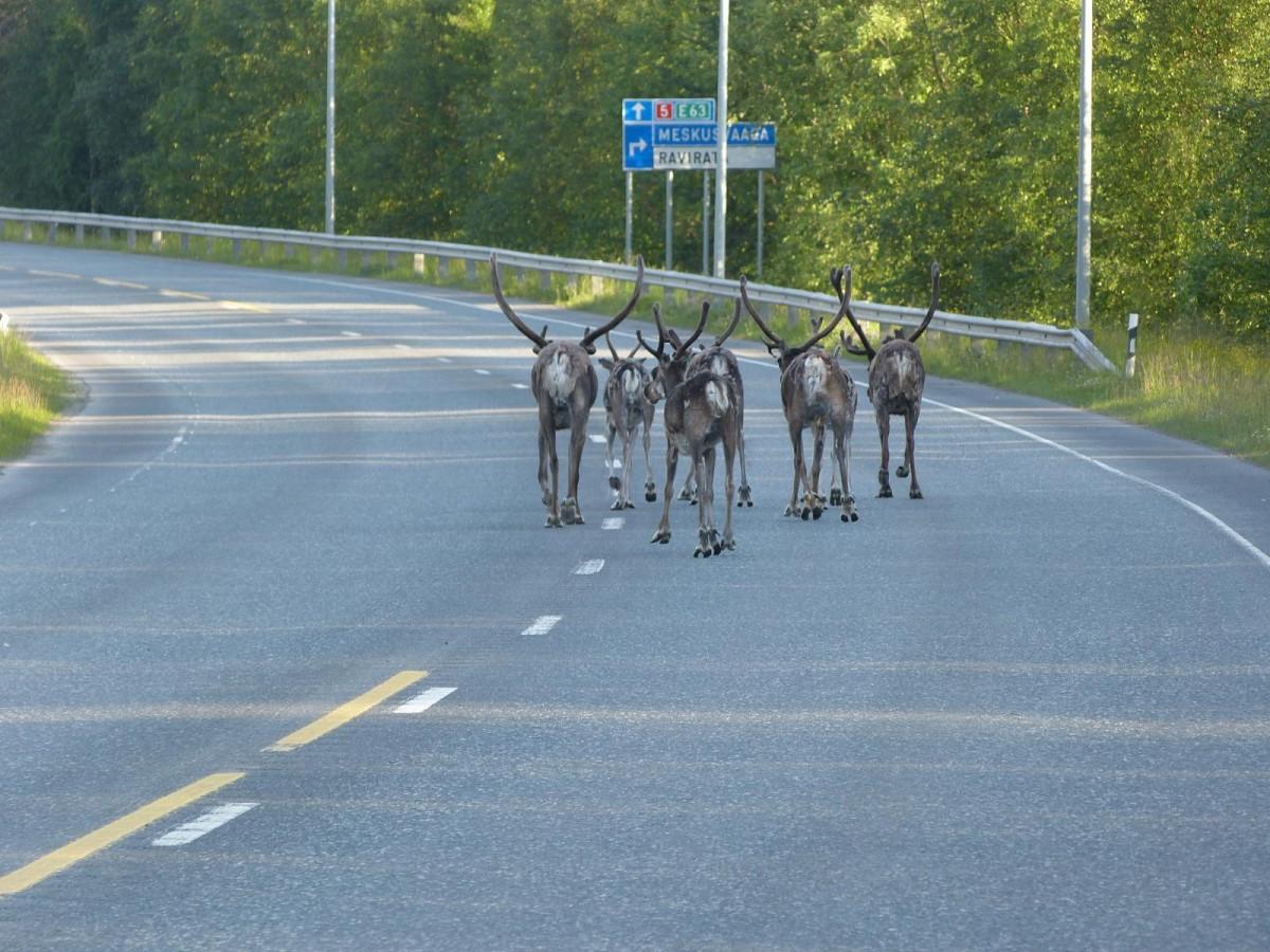Zdjęcia: Kuusamo, Kuusamo, Renifery w Finlandii, FINLANDIA