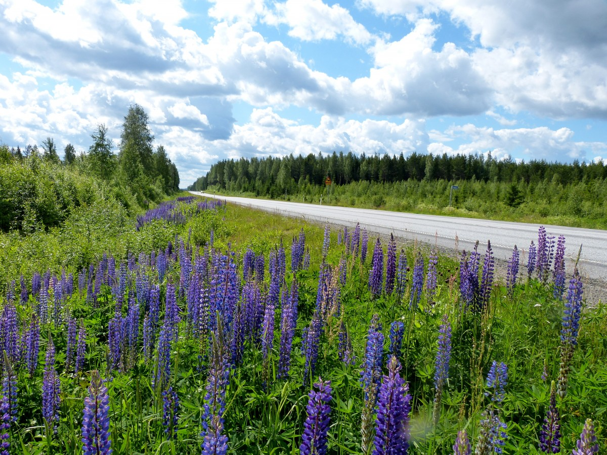 Zdjęcia: Kuusamo, Kuusamo, Łubiny przy drodze, FINLANDIA