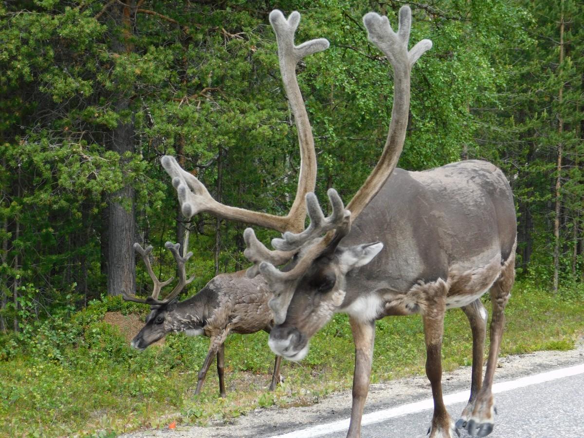 Zdjęcia: Utakleiv, lofoty, renifer - Laponia, FINLANDIA