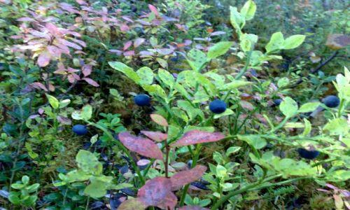 Zdjecie FINLANDIA / Laponia / torfowiska koło Inari / Tyle jagód jesz