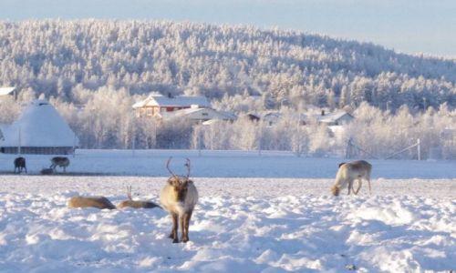 FINLANDIA / Północ Finlandii / Laponia / Renifery
