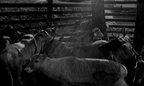 Zdjecie FINLANDIA / Laponia / Rovaniemi / Reindeer