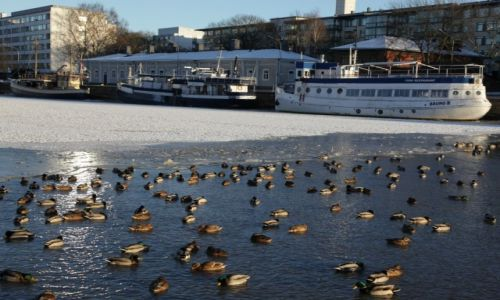 Zdjęcie FINLANDIA / Turku / Rzeka Aurajoki / Kaczki w przerębli