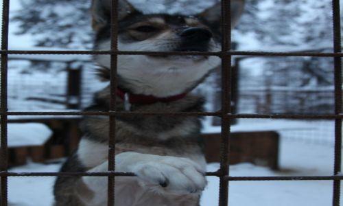 Zdjęcie FINLANDIA / Laponia / Rovaniemi, Husky park / Wypuść mnie...