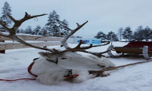 Zdjęcie FINLANDIA / Laponia / Rovaniemi / Strudzony daleką drogą