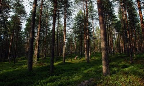 FINLANDIA / Laponia / okolice Rovaniemi / Lapońska tajga