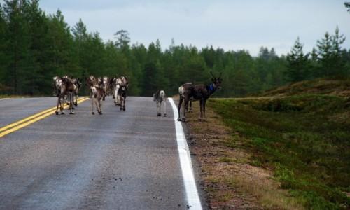 Zdjęcie FINLANDIA / Laponia / Ruka / Renifery