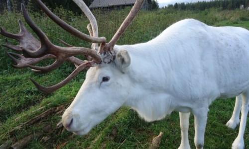 Zdjęcie FINLANDIA / Laponia / Rovaniemi / Biały renifer