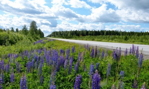 Zdjęcie FINLANDIA / Kuusamo / Kuusamo / Łubiny przy drodze