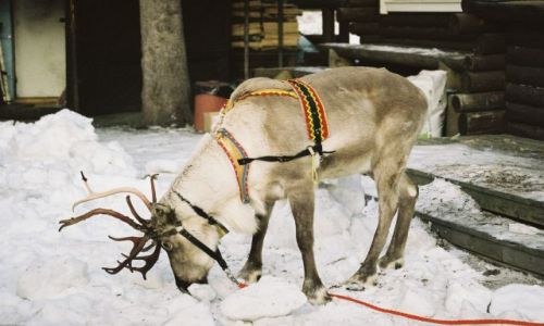 Zdjęcie FINLANDIA / Laponia / ROVANIEMI / RENIFER