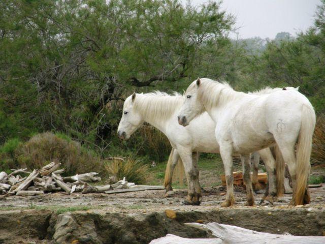 Zdjęcia: Park Natury Camargue, Prowansja, Białe konie z Camargue, FRANCJA
