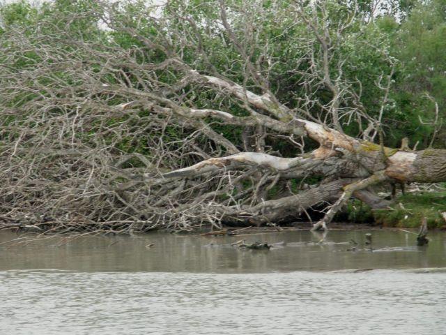 Zdjęcia: Park Natury Camargue, Prowansja, Drzewo w pozycji horyzontalnej, FRANCJA