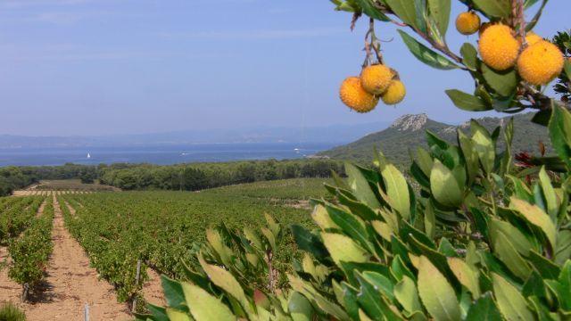 Zdjęcia: Wyspa Porquerolles, Lazurowe Wyrzeze, Winnica, FRANCJA
