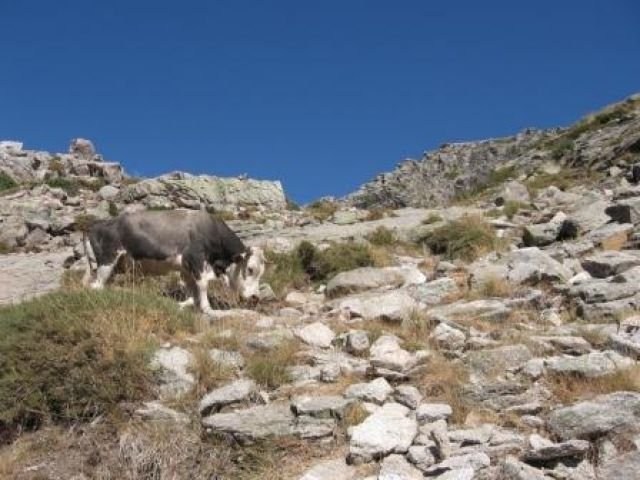 Zdjęcia: Lac de Niro, Korsyka, Górskie byczki na trasie turystycznej, FRANCJA
