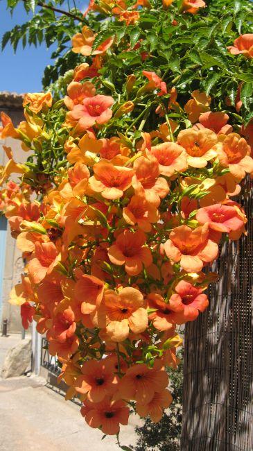 Zdjęcia: wędrując po okolicy, Langwedocja, Kwiaty południa Europy, FRANCJA