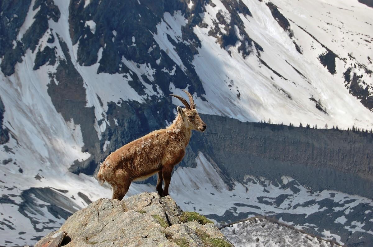 Zdjęcia: Lodowiec Bionnassay, Alpy Graickie - masyw Mont Blanc, Na straży lodowca, FRANCJA