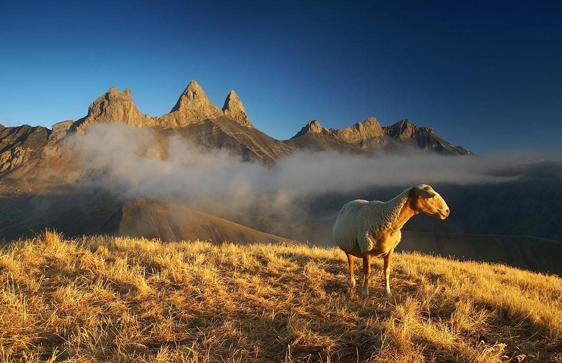Zdjęcia: Francja, Delfinat, Ranna owca, FRANCJA