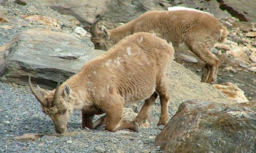 Zdjecie FRANCJA / okolice Chamonix / Masyw Mont Blanc / Alpejska fauna