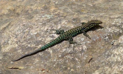 Zdjecie FRANCJA / Korsyka / wąwóz La Spilonca / salamandra korsykańska