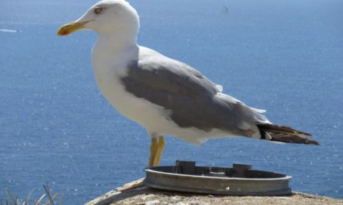 Zdjęcie FRANCJA / Korsyka / Bonifacio / Mewa w Bonifacio