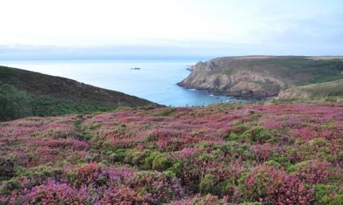 Zdjęcie FRANCJA / Bretania / Wybrzeże w Bretanii / Wrzosy na wybrzeżu