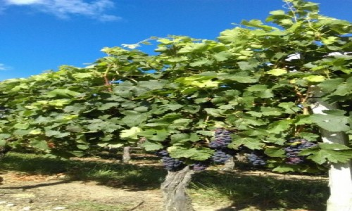Zdjecie FRANCJA / Bordeaux / okolice Bordeaux / Winnica