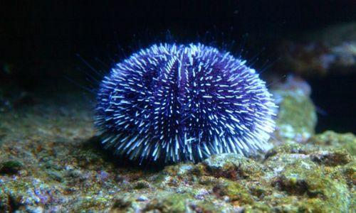 Zdjęcie FRANCJA / Langwedocja / Akwarium morskie w Agde / morski jeż ?