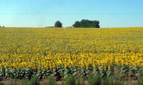Zdjecie FRANCJA / południowy wschód Francji / brak / słonecznikowe pole