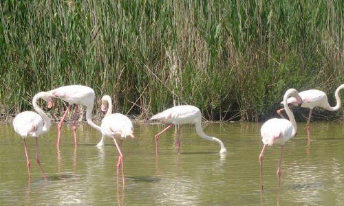 Zdjecie FRANCJA / Prowansja / Park Ornitologiczny / flamingi