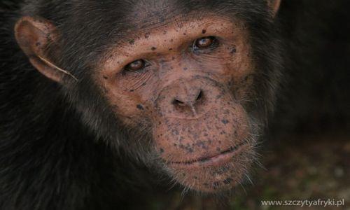 GABON / Lekedi Park / Lekedi Park / Szympans