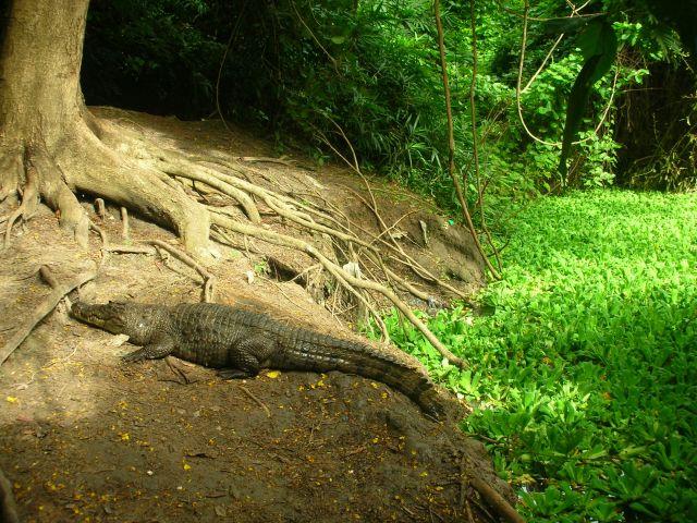 Zdjęcia: REZERWAT , krokodyl na spacerze, GAMBIA