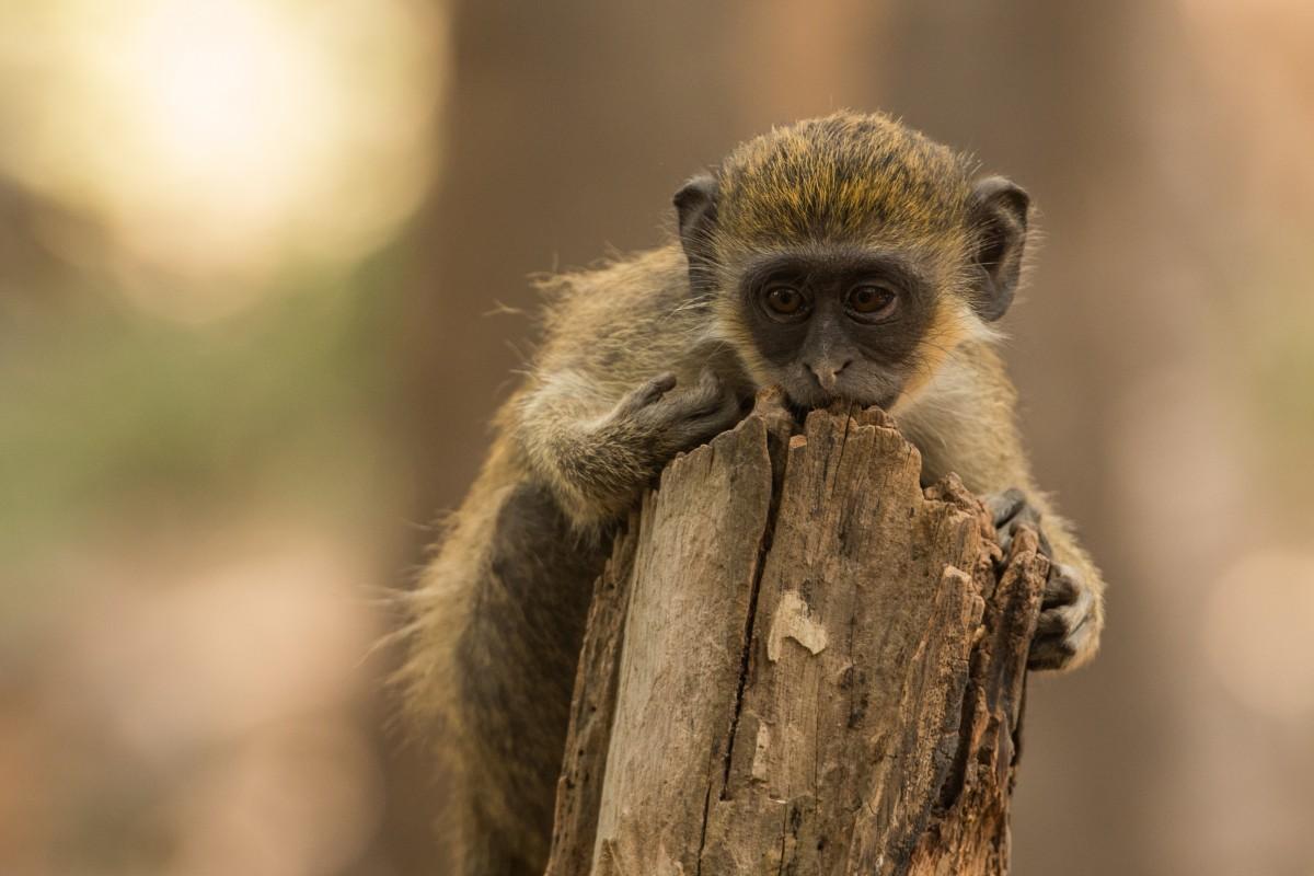 """Zdjęcia: Bijilo Forest Park, Greater Banjul Area, """"Żelazne racje"""" 😁, GAMBIA"""