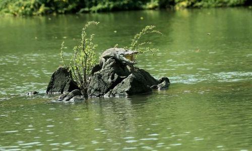 GAMBIA / - / rzeka Gambia / obok wypoczywa młody krokodyl